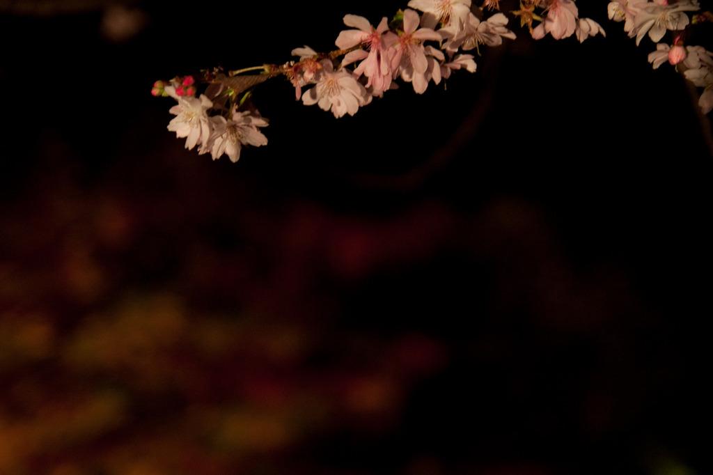 城峯公園 冬桜・楓-3