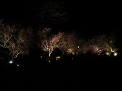 城峯公園 冬桜・楓-5