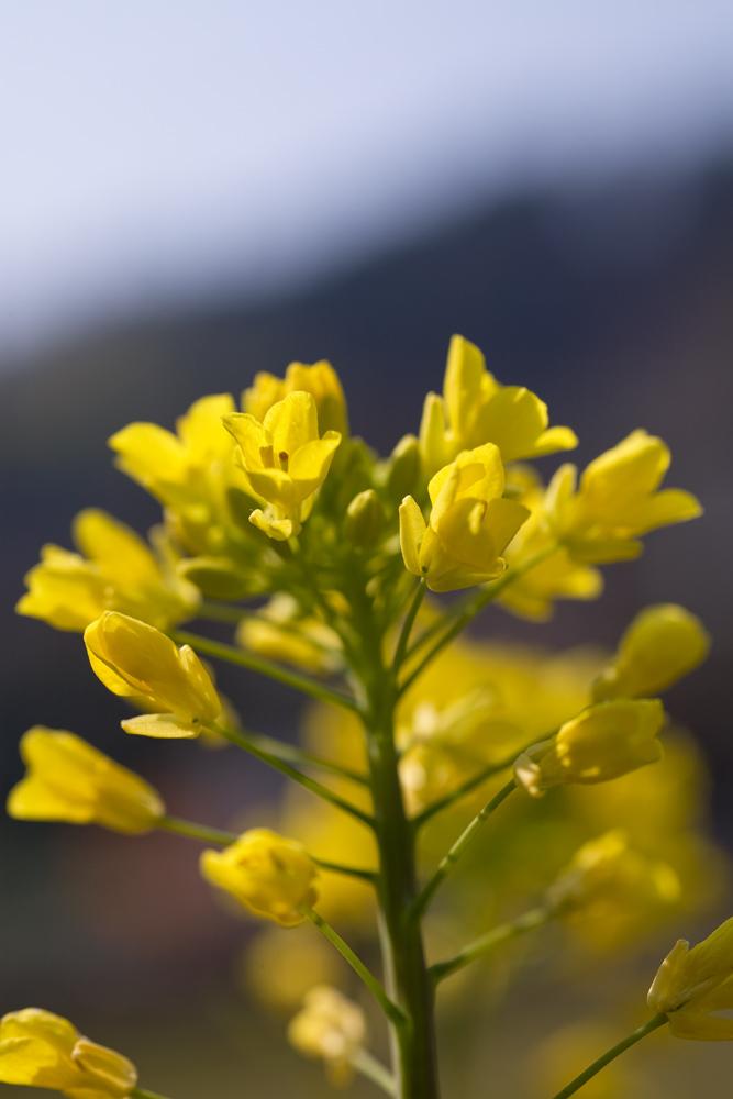 菜の花002