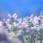 SONY DSLR-A700で撮影した植物(逆光に映えて)の写真(画像)