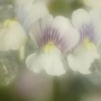 SONY DSLR-A700で撮影した植物(夢の中で)の写真(画像)