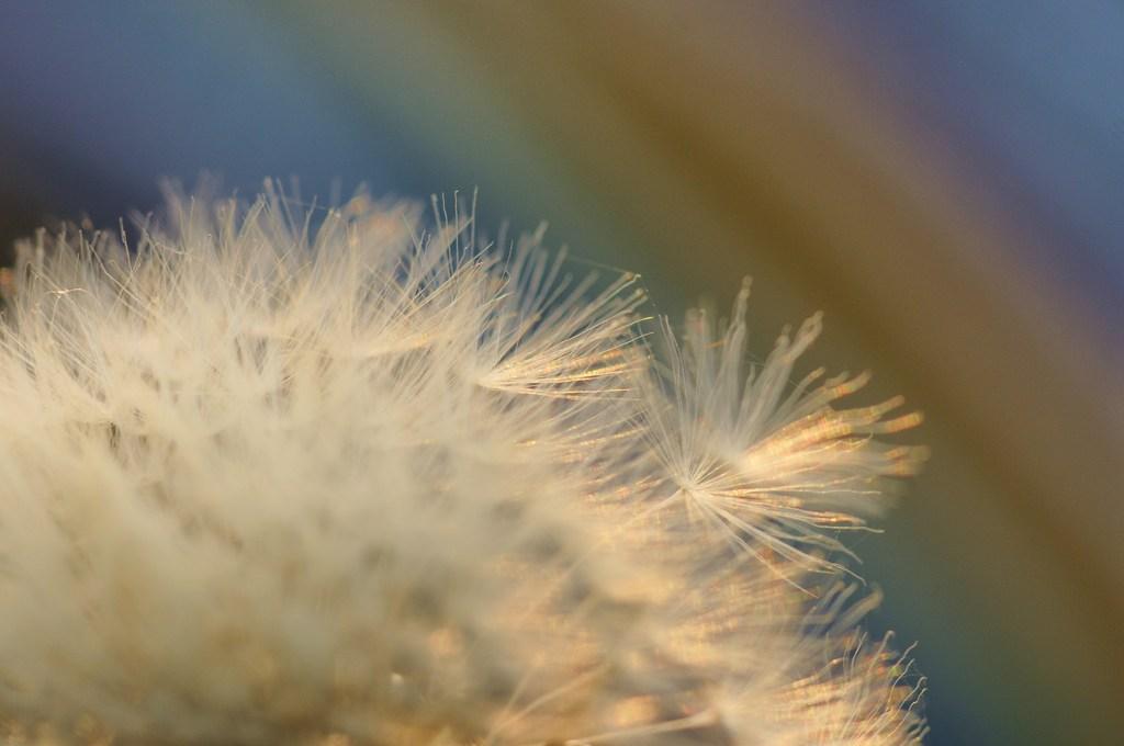 黄昏の中に光る綿毛