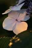 夕日の紫陽花