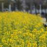 CANON Canon EOS Kiss X2で撮影した風景(夏島通日産追浜工場前)の写真(画像)
