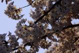 夜明けの桜