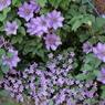 CANON Canon EOS Kiss Digital Xで撮影した植物(紫)の写真(画像)