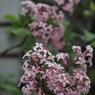 CANON Canon EOS Kiss X2で撮影した植物(雨上がりの朝)の写真(画像)