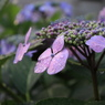 CANON Canon EOS Kiss X2で撮影した植物(紫陽花)の写真(画像)