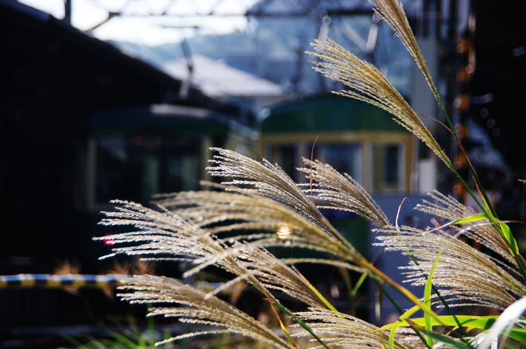 鎌倉秋色情報Ⅶ(江ノ電とススキと)