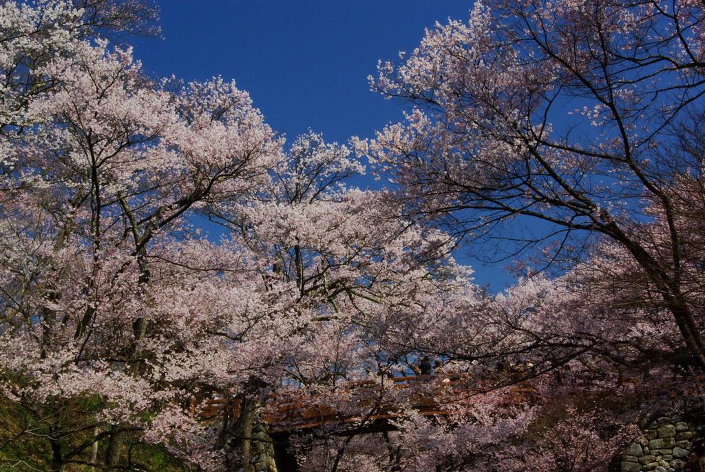 見上げる桜雲橋高遠(2007/4-Ⅲ)