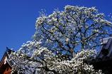春告げの白木蓮(北鎌倉円覚寺)
