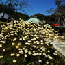 PENTAX PENTAX K20Dで撮影した植物(三椏の まぶしく咲きて 春来たり)の写真(画像)