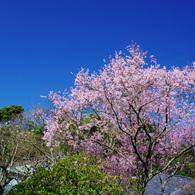 PENTAX PENTAX K20Dで撮影した植物(彼岸桜満開)の写真(画像)