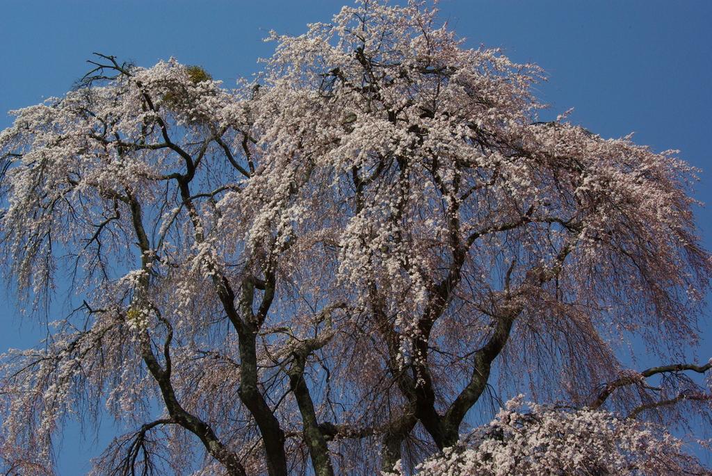 枝垂れ見事勝間堂高遠(2007/4‐6)