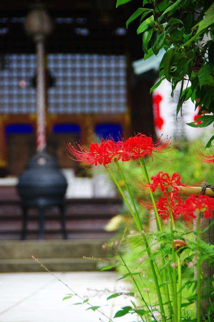 曼珠沙華 牡丹餅寺に 今年も見え(2009年卓上カレンダー9月分)