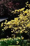 三椏(みつまた)の 輝きいずる 春の日に(2010年卓上カレンダー3月分β版)