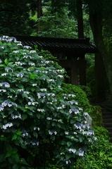 ほの白く 行く手を示す 紫陽花よ(2010年卓上カレンダー6月分β版)