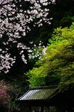 また会えて 心浮き立つ 桜かな(2010年卓上カレンダー4月分)
