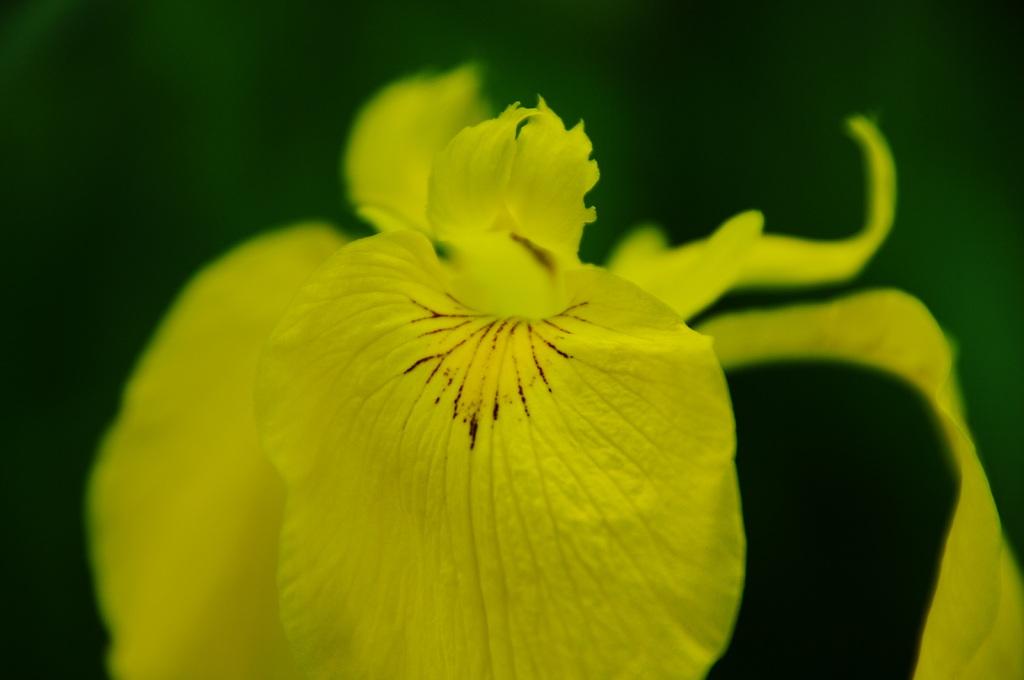 かきつばた 黄色をまといて 初夏を告ぐ