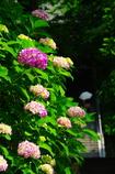 参道を にぎわす紫陽花 ありがたし(2010年卓上カレンダー6月分)