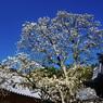PENTAX PENTAX K20Dで撮影した植物(青空に 伸びをするよな 白木蓮)の写真(画像)
