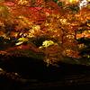 照葉(2010/11撮影 京都高桐院)