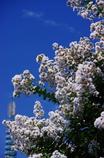 夏空に 浮びて咲くや さるすべり(2010年卓上カレンダー8月分)