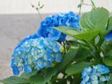 函館紫陽花