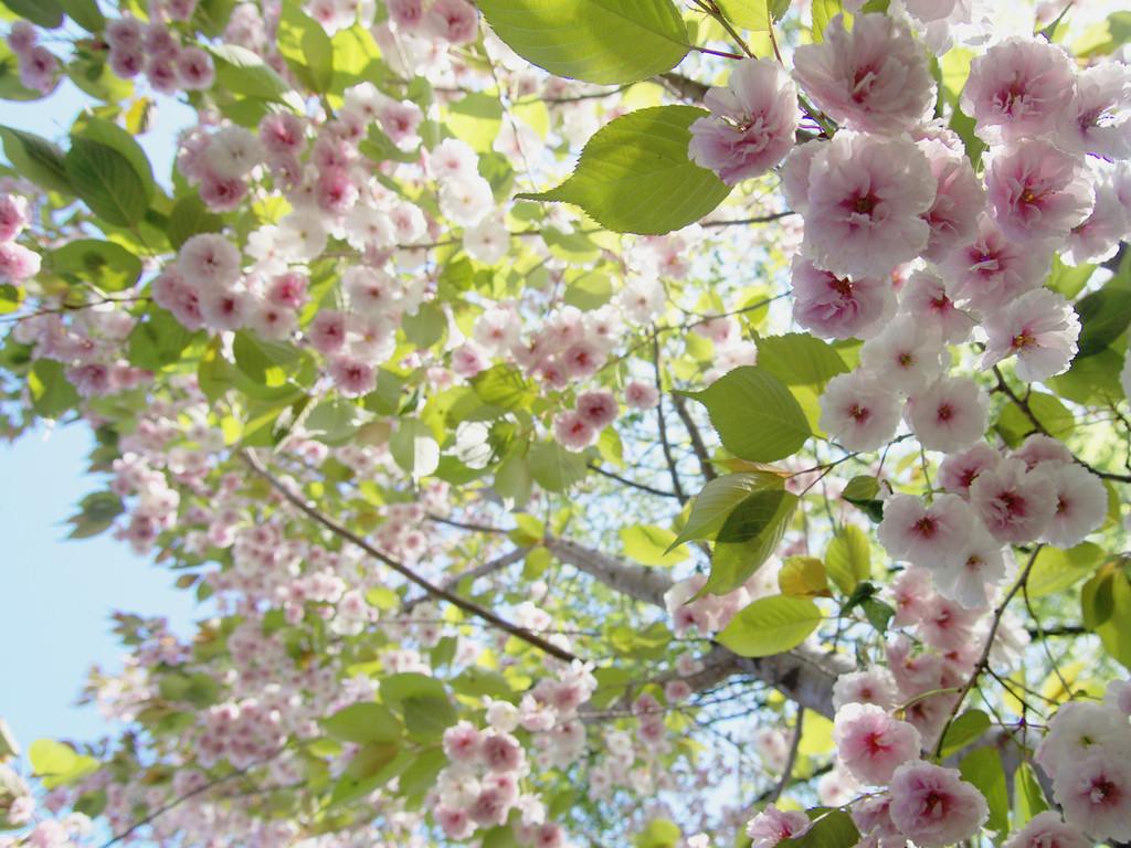 北海道の八重桜