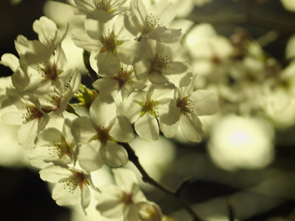 これも夜桜