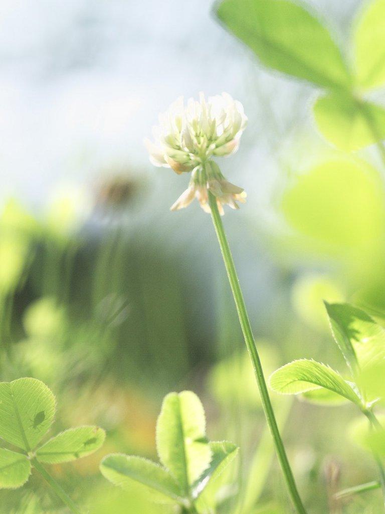 クローバーの花