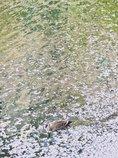 深川お花見