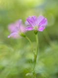 赤い小さい花(ムラサキカタバミ?)
