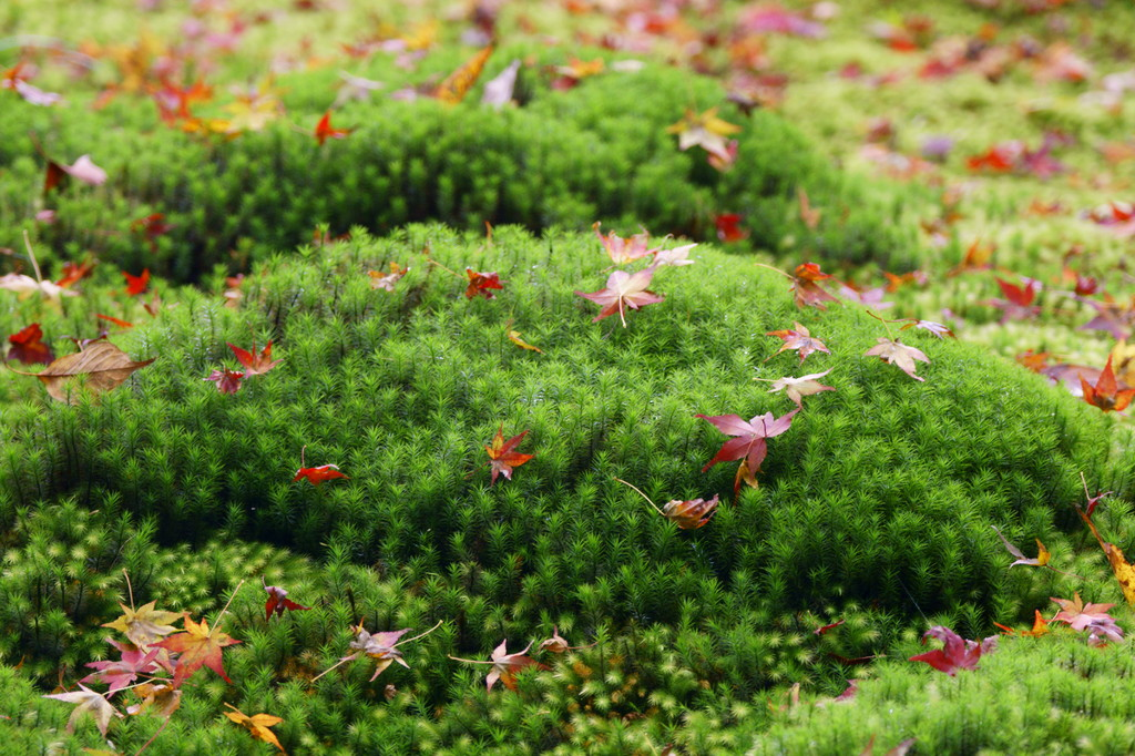 祇王寺の苔と紅葉