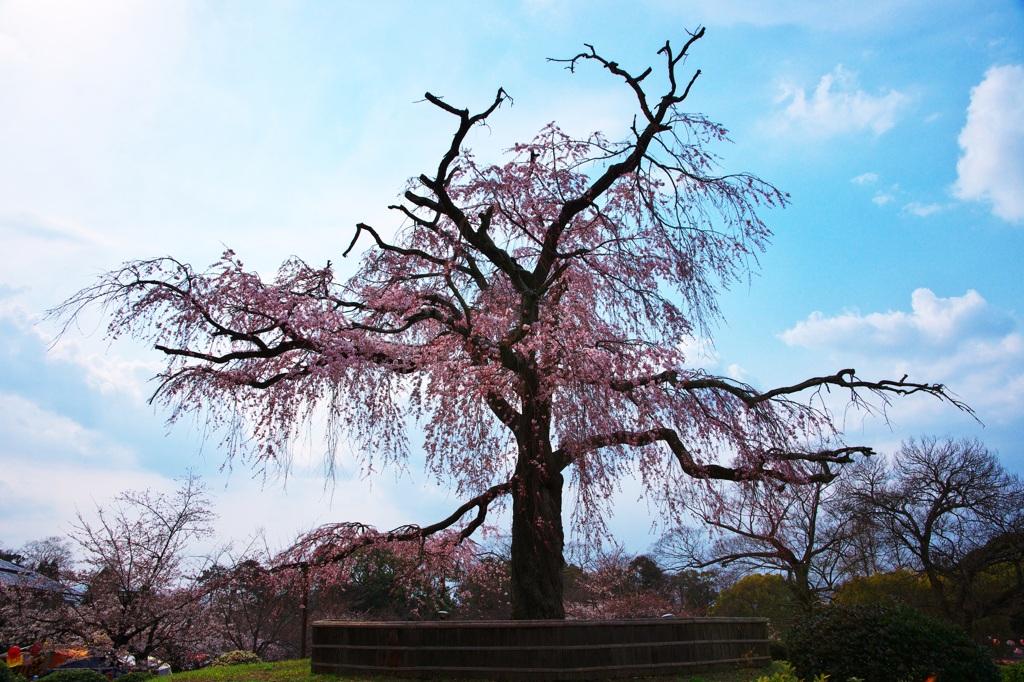 祇園枝垂れ桜(円山公園)
