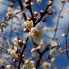 早春の梅花(2)
