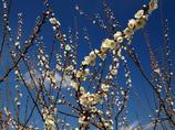 早春の空に咲く梅花(1)