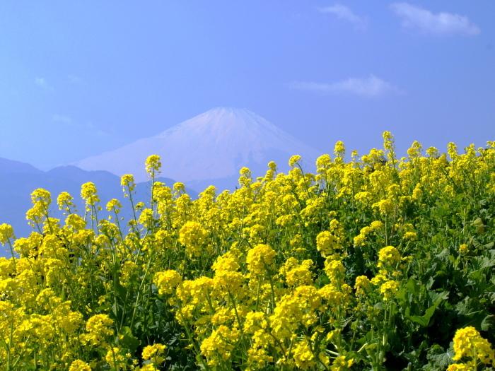 菜の花畑と富士