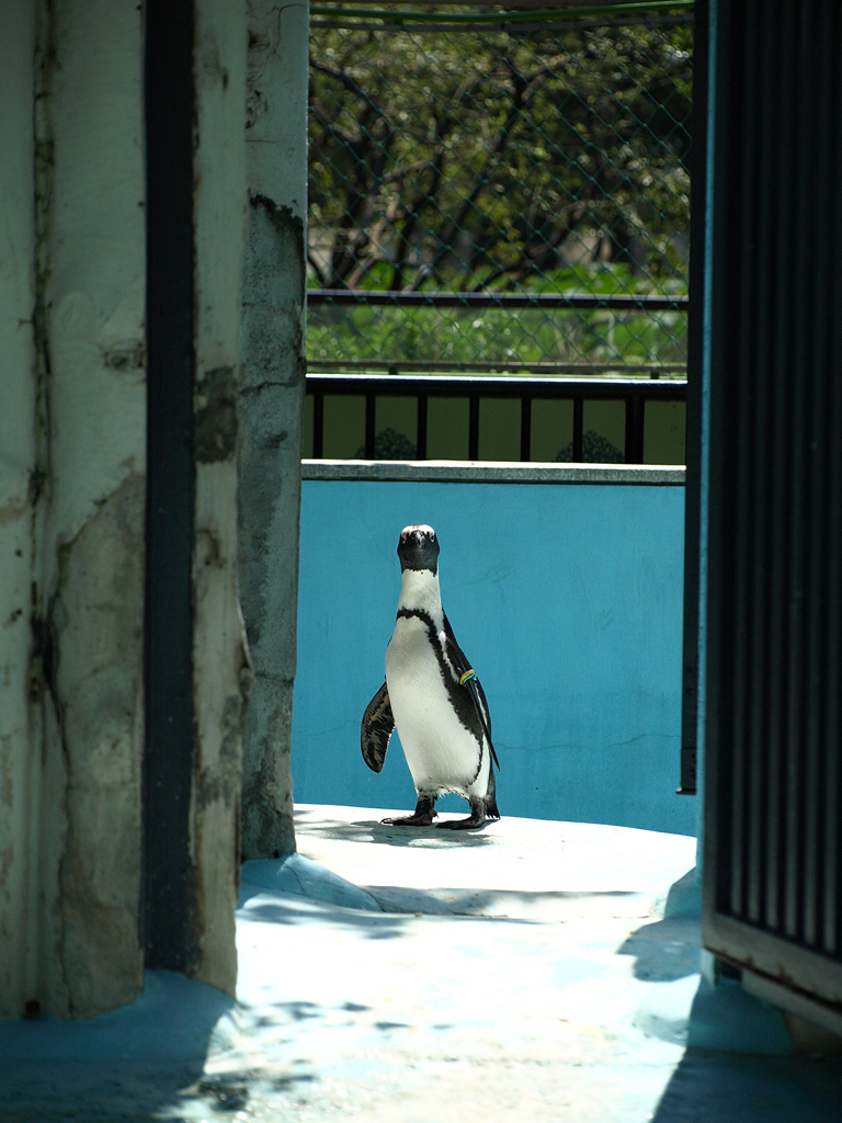 あっどうも♪ 通りすがりのペンギンです♪