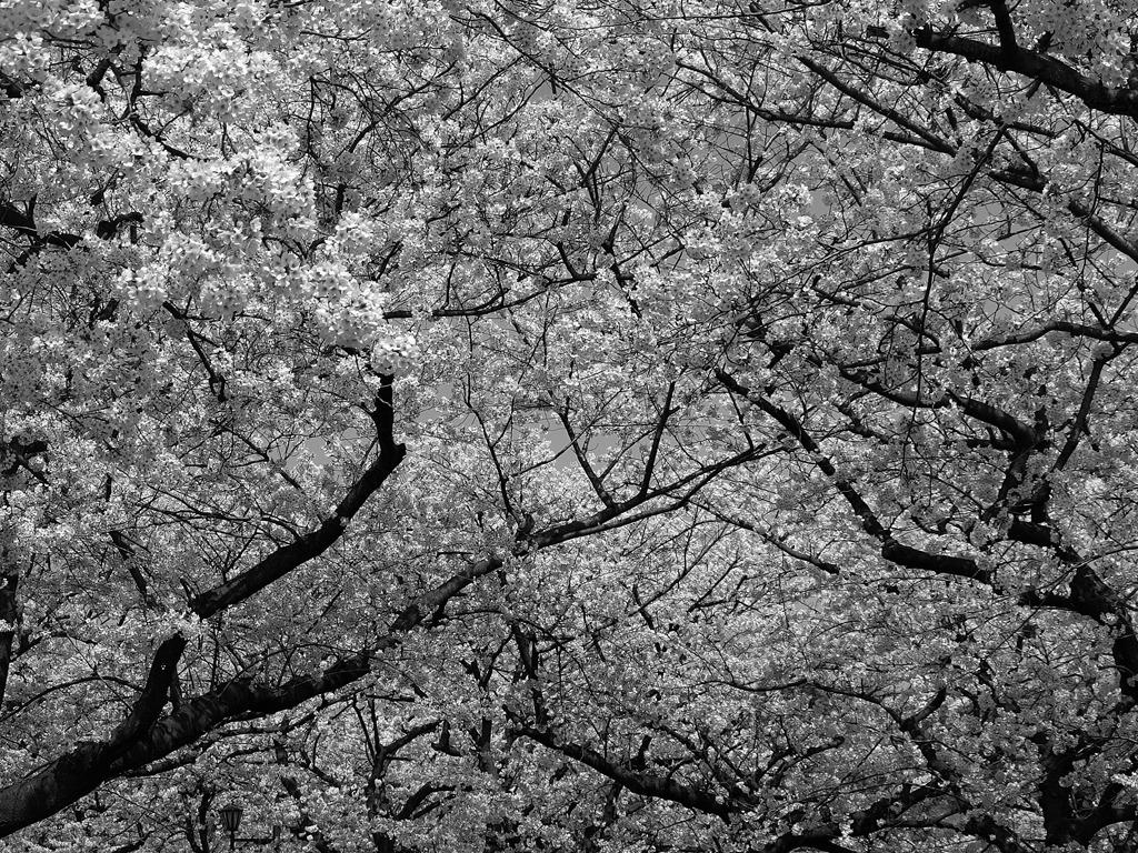 上野桜林図