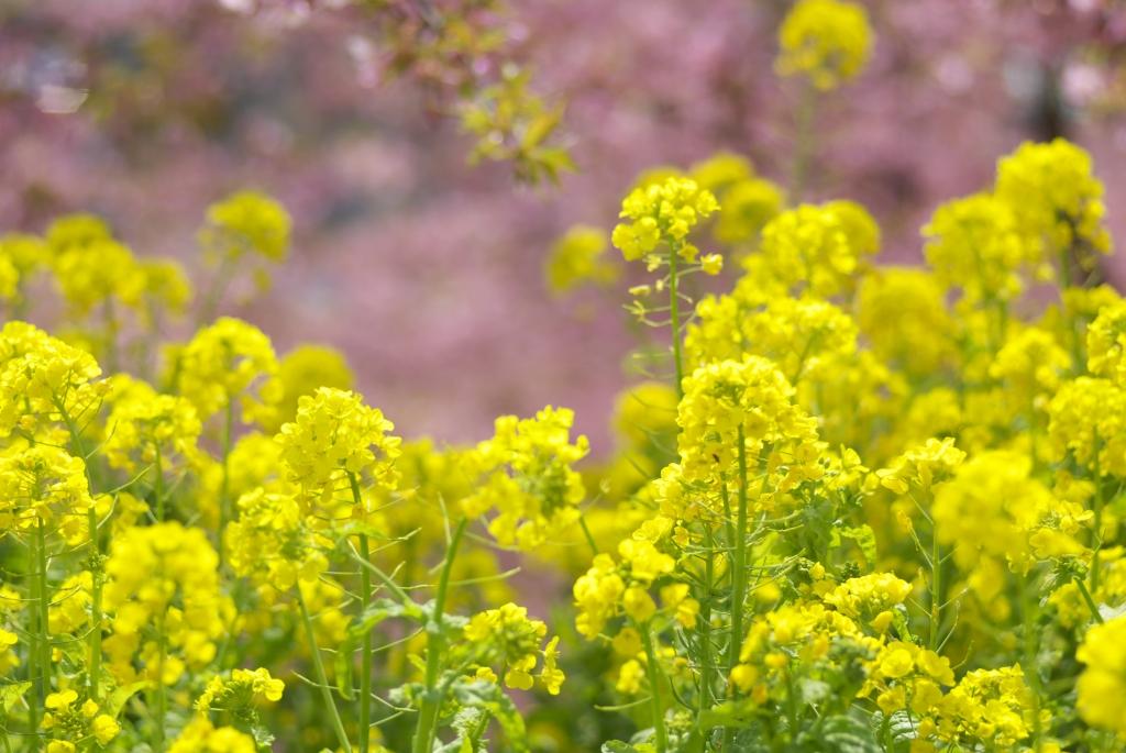 2007 菜の花と桜