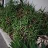CANON Canon EOS 20Dで撮影した植物(アロエ無法地帯1)の写真(画像)