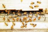 ミツバチ・ゴールド