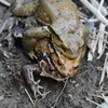 正しい蛙合戦