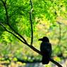CANON Canon EOS 20Dで撮影した動物(新緑と漆黒)の写真(画像)