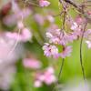 しだれる春
