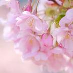 FUJIFILM X-H1で撮影した(河津桜)の写真(画像)