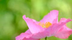 花の国のポピー