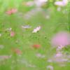 秋桜の園 02