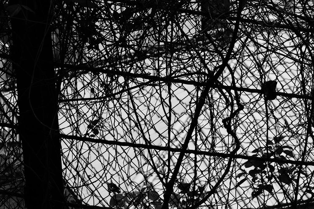 フェンスと蔦